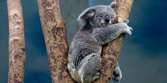 a koala bear; pixabay